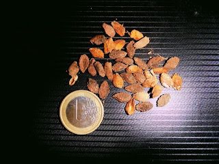 The seeds can be brown or almost black