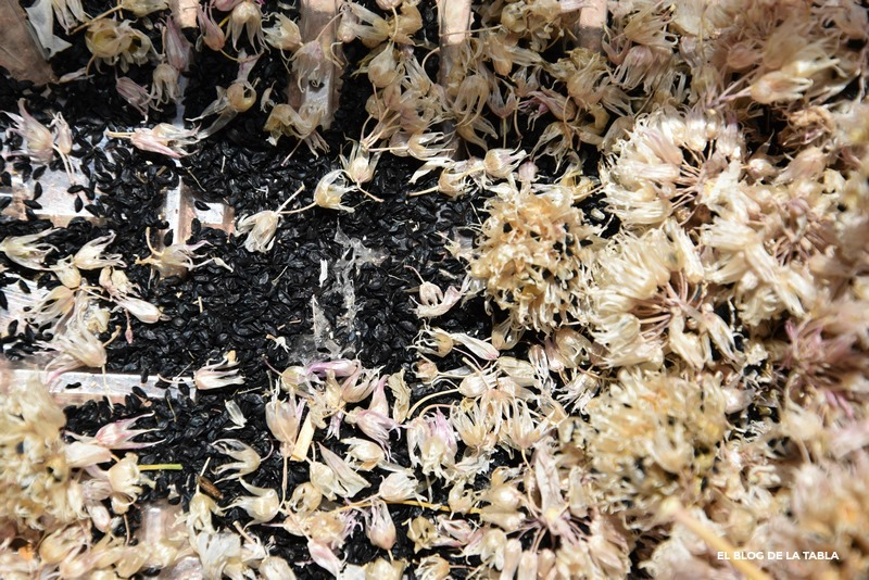 semillas de cebollino (allium schoenoprasum)
