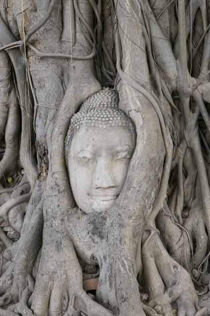 Faccia del Budda tra le radici-Wat Mahathat's-Ayutthaya