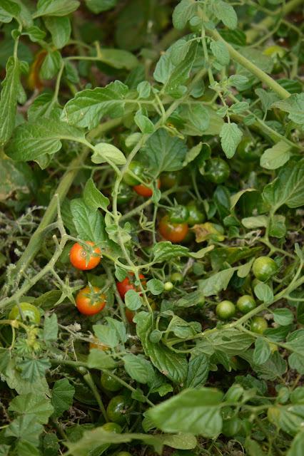 tomato, tomatoes, small sunny garden, amy myers, photography, desert garden