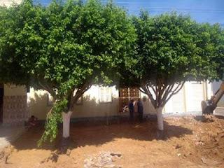 Árvores da praça Barão do Sincorá