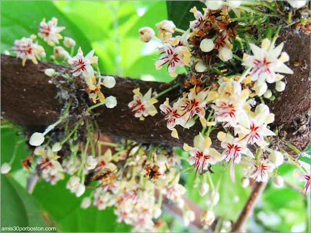 Flor del Cacao en el Jardín Botánico de Montreal