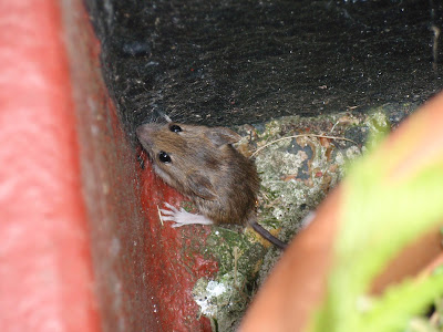 Mrs Mouse hiding between our doorstep and plant pots.