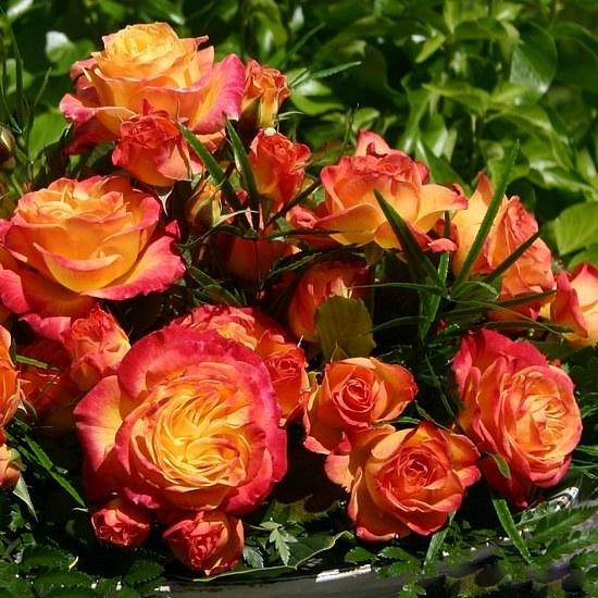 Gartenspass сорт розы Кордес фото описание купить саженцы Минск