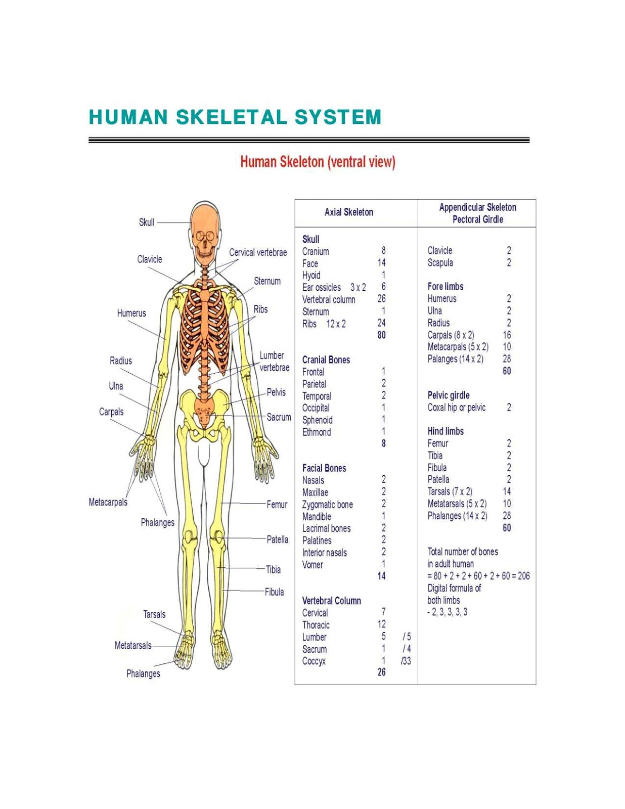 Human Skeletal System Diagram - coordstudenti