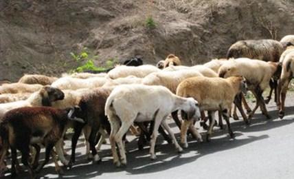 Goat Rearing शेळी पालन
