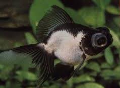 Inilah Jenis Ikan Koki Beserta Gambar Ikan Koki panda moor