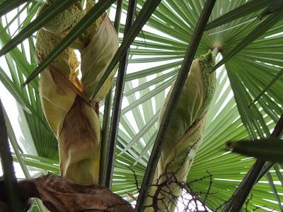 Infiorescenze Trachycarpus fortunei