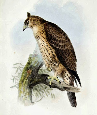 Ayer´s hawk Eagle