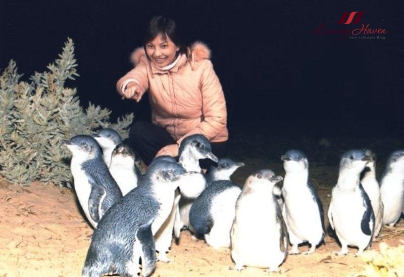 klook australia penguin watching in phillip island