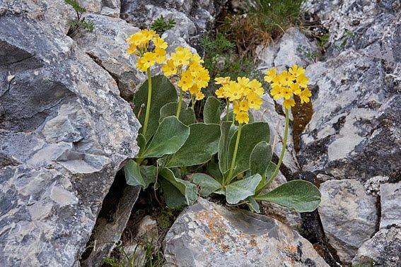 Alpenaurikel (Primula auricula) - 18.05.2018