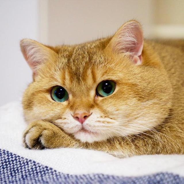 Chú mèo sống chết không chịu chấp nhận sự thật rằng mình... béo!
