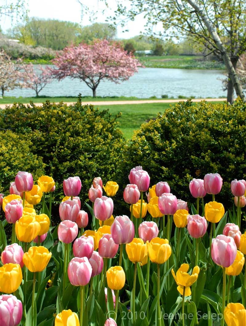 Spring Tulips at the Chicago Botanic Garden by Jeanne Selep