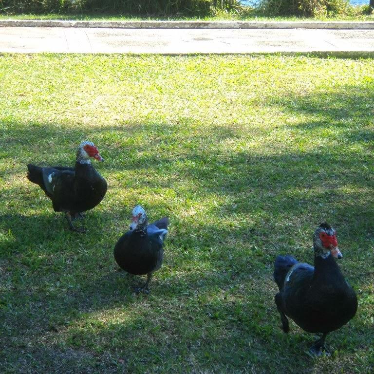 Patos em Torno do Lago do Braço Morto