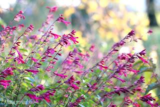 sauge arbustive rose wendish