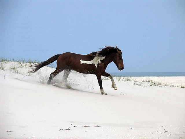 Young Horse Playing on Beach  on Assateague Island National Service