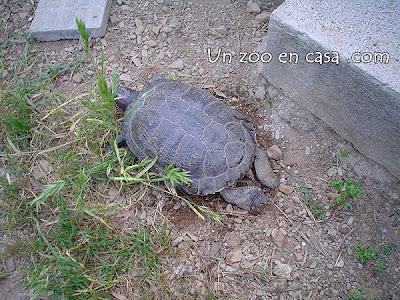 Hembra de tortuga excavando el nido