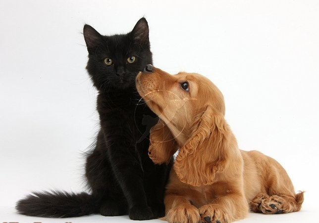 Cute Dogs Pets: Black Maine Coon Kittens and Golden Cocker Spaniel
