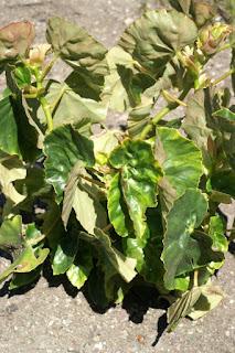 Begonia obliqua - Begonia odorata