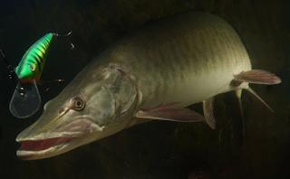 Ikan Muskellunge (Esox masquinongy)