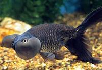 Jenis Ikan Koki varian warna hitam