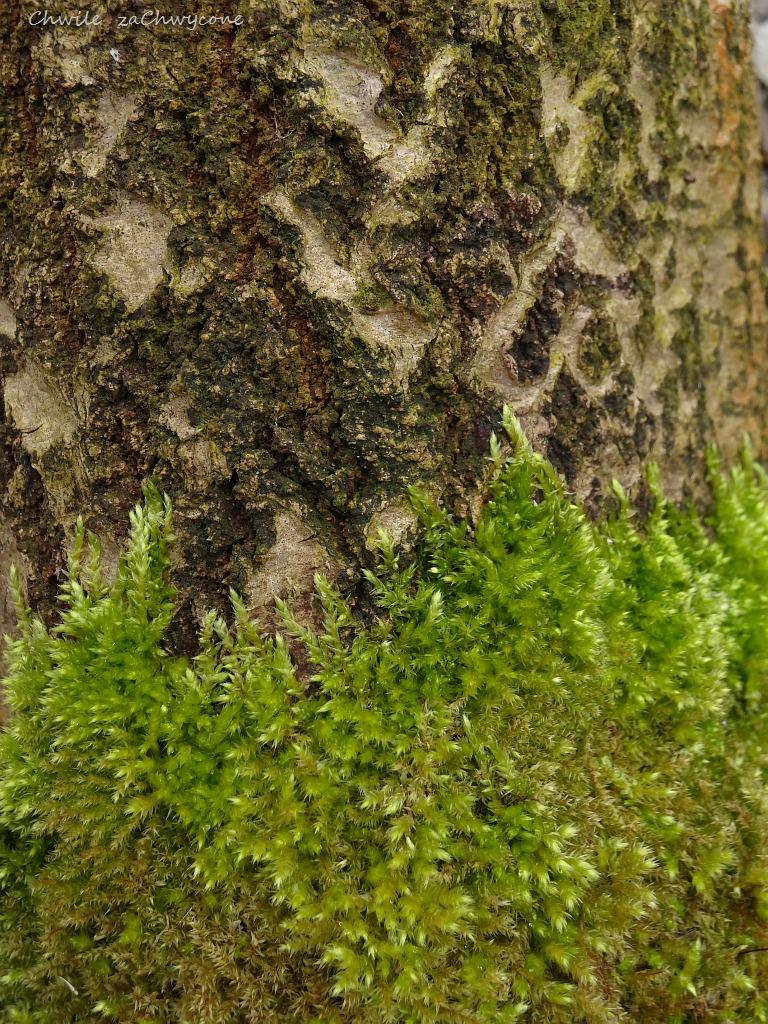 Krótkosz szorstki, Brachythecium rutabulum, mech