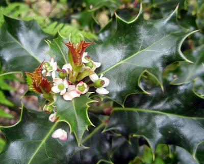 Flor femenina del acebo (Ilex aquifolium)