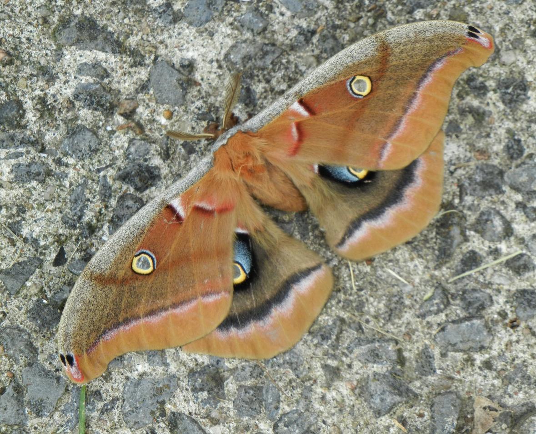 Ronna's Blog: Polyphemus moth