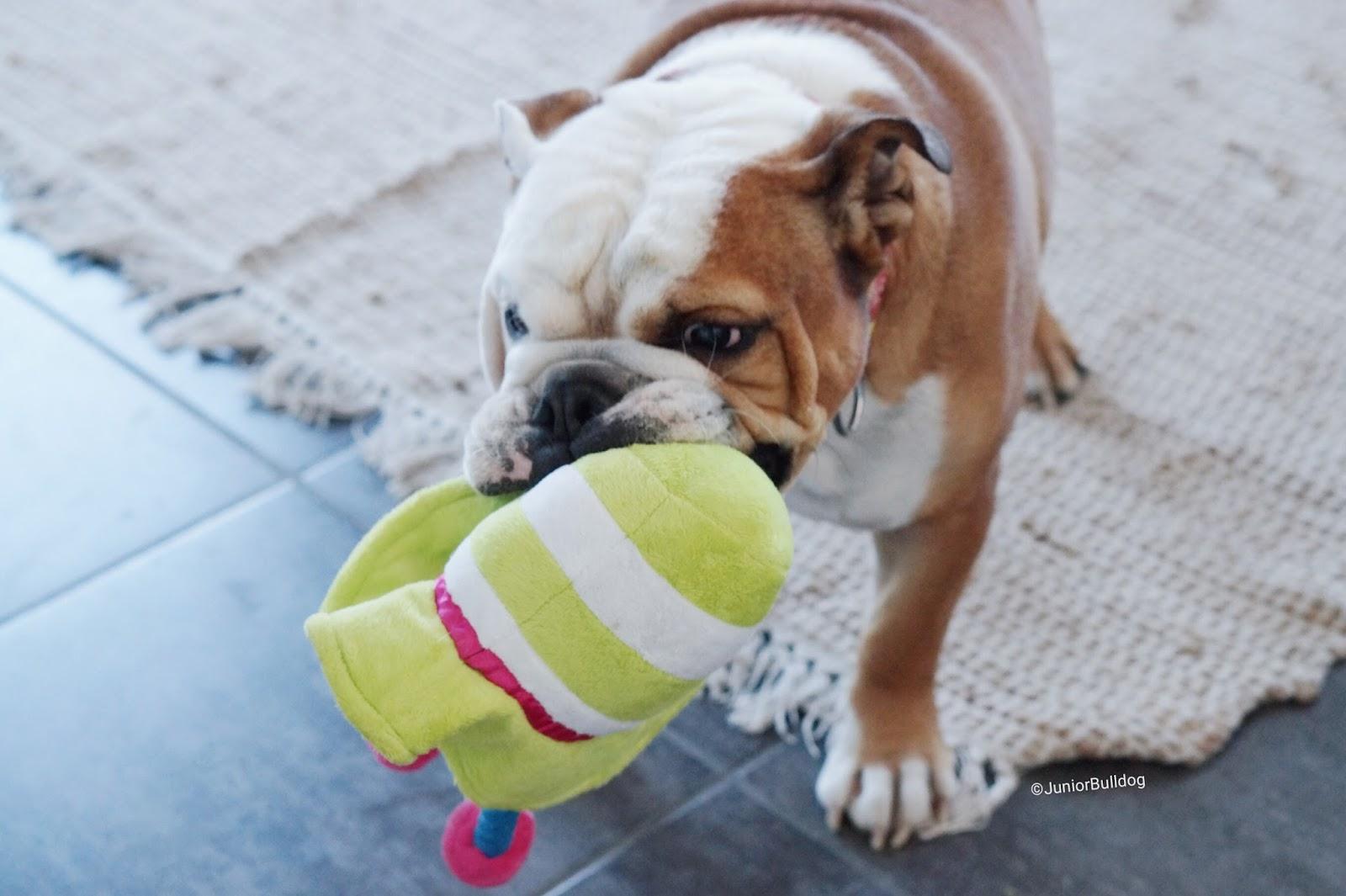 bulldog anglais joue