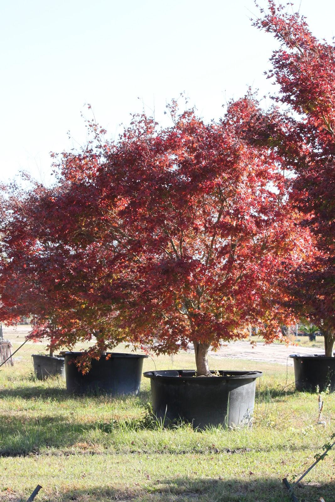 Savannah S Secret Gardens Japanese Maples Quot Moonglow Quot
