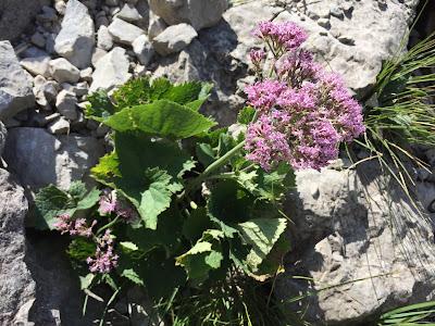 Adenostyles alpina – (Cavolaccio alpino).