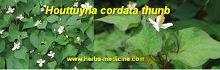 Asthma use Houttuynia cordata Thunb