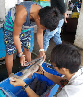 measuring sharks