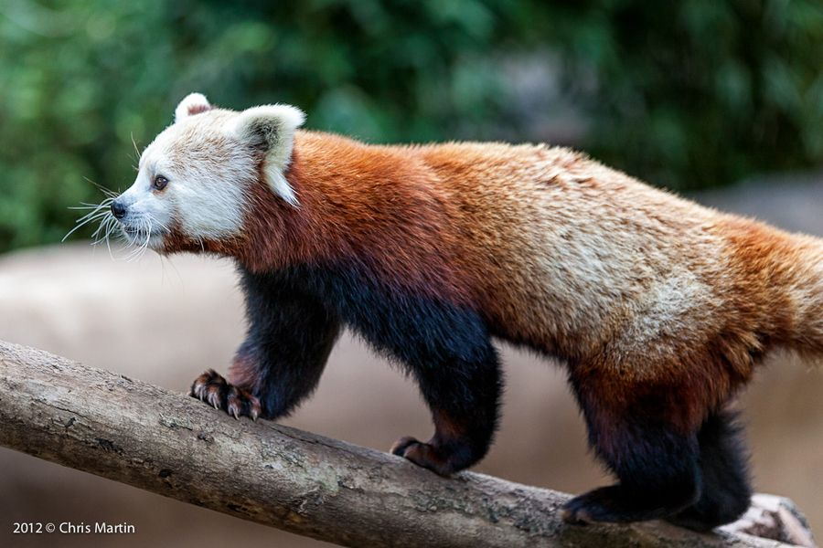 11. Red Panda by Chris Martin