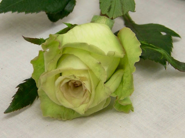Beautiful Green Rose HD Wallpapers Images Download