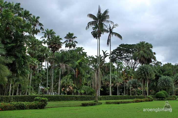 pohon palem kebun raya bogor