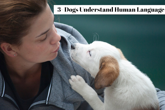 Dogs can learn specific words that humans speak, with the average dog capable of learning around 165 words and/or signals. In addition, dogs are very attuned to a tone of voice and instinctively pair it to an emotional state, thus people with deep voices are often given reverence, whereas doting, placating family members are often ignored.  A dog, no matter how intelligent, can't process full grammatical sentences.