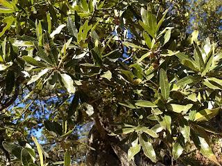 Quercus mexicana, Encino amarillo