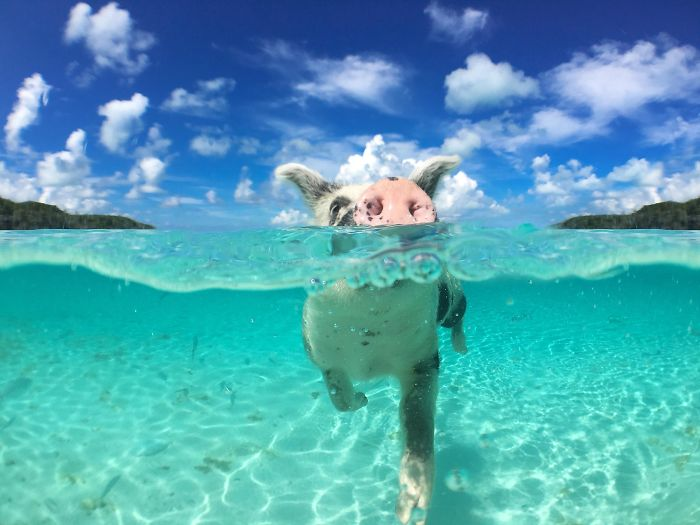 Bahamas Swimming Pigs Discovered Dead After Tourists Fed Them Alcohol
