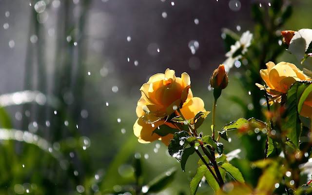 Gele rozen en regendruppels tijdens een regenbui