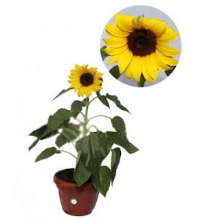 jual-bibit-bunga-matahari.jpg