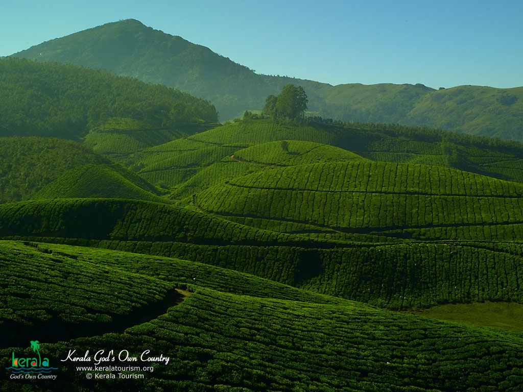Tea Plantations Kerala India