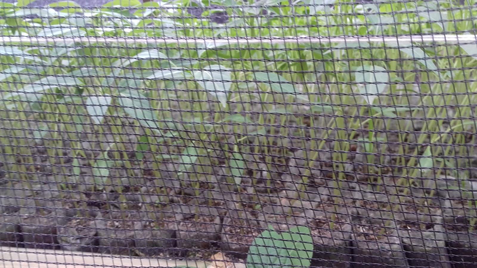 Tanaman Cabe di Tempat Terbuka dengan Pertumbuhan Bagus. Photo Original/Hak Cipta: Wahid Priyono (Guru Ilmuan).