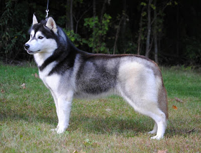 bo long cho Husky