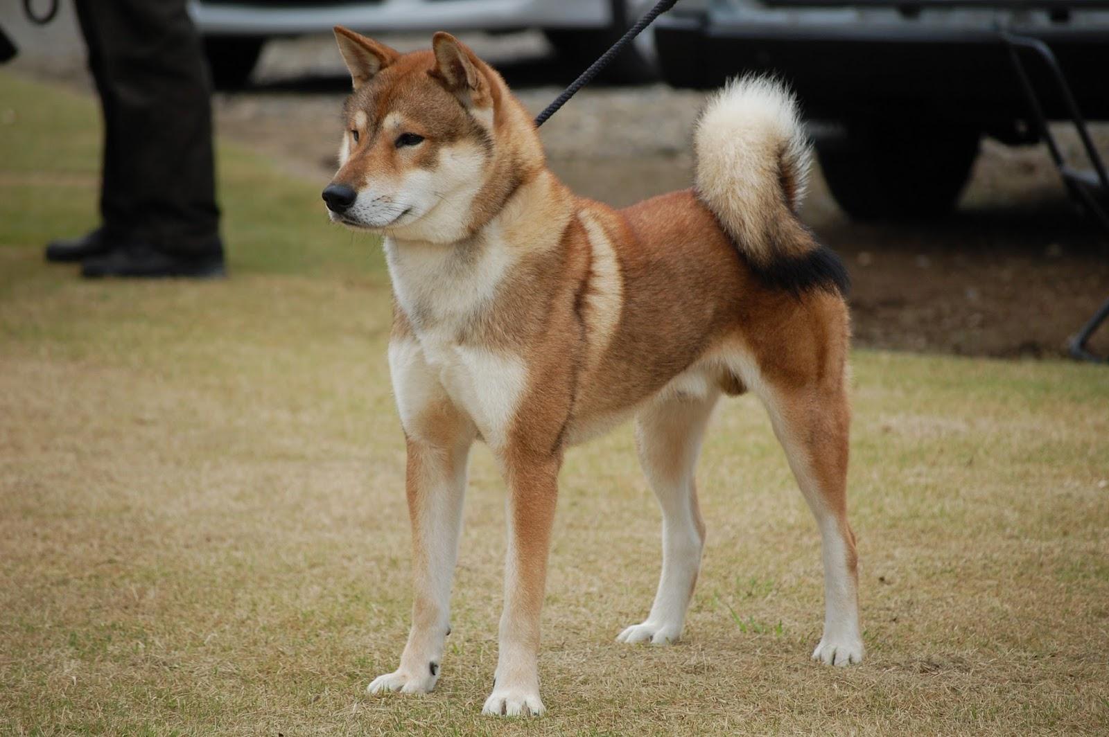 how to train a shikoku dog