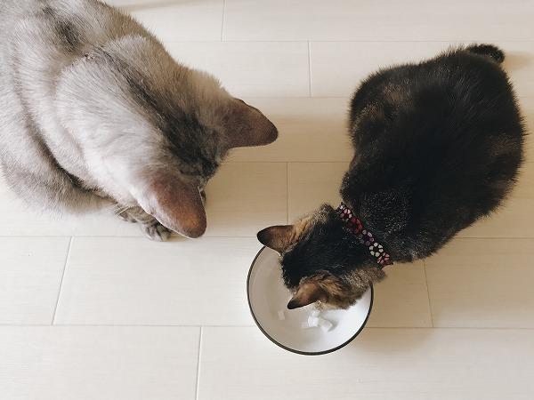 ミルク寒天を猫たちに味見してもらう
