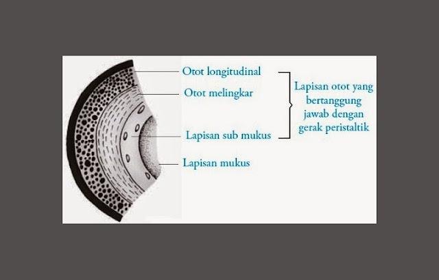 Otot Esofagus, Submukosa Esofagus, Mukosa Esofagus,