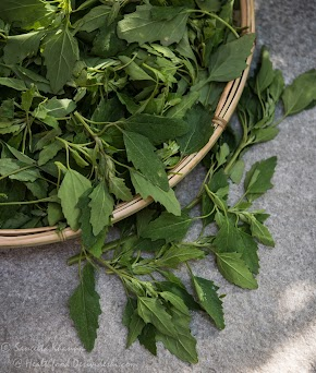 bathua ka saag / a green dip with chenopodium leaves