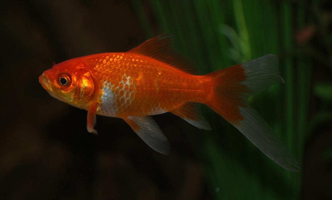 Des poissons une passion que sont les poissons rouges for Poisson comete bassin