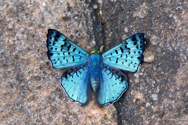 Glittering Sapphire - Lasaia agesilas